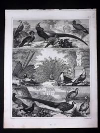 Heck 1849 Antique Bird Print. Peacock, Argus Pheasant, etc